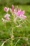 cleome αράχνη λουλουδιών Στοκ Εικόνες