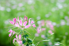 Cleome Royalty Free Stock Image