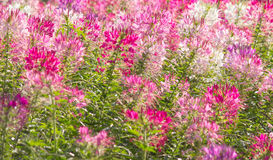 Cleome, background, nature background the flowers are blooming i. Cleome, The flowers are blooming in the garden, nature background Royalty Free Stock Photography