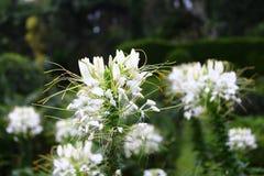 Cleome de Spiderflower Fotos de archivo