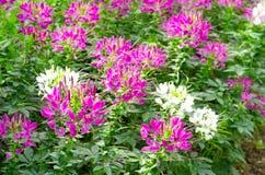 Cleome- eller spindelblomma Royaltyfria Bilder