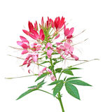 Cleome Flower royalty free stock photo