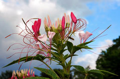 Cleome flower close-up. Spider-flower cleome (cleome spinosa) on a sky background Stock Photo