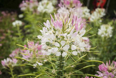 Cleome Flower Royalty Free Stock Images