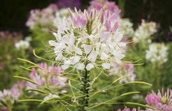 Cleome Flower Stock Image