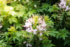 Cleome flower. Species of Cleome are commonly known as spider fl Royalty Free Stock Images