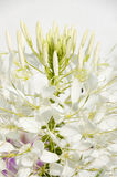 Cleome. The flower of the cleome (spider flower) close up at summer midday Stock Photos