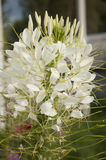 Cleome. The flower of the cleome (spider flower) close up at summer midday Stock Images
