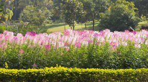Cleome, The flowers are blooming in the garden.  Stock Images