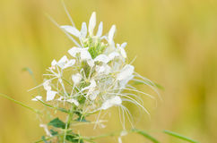 Cleome hassleriana or spider flower or spider plant Stock Photos