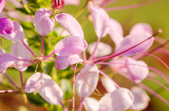 Cleome hassleriana or spider flower or spider plant Royalty Free Stock Images