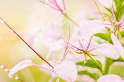 Cleome hassleriana or spider flower or spider plant Stock Photo