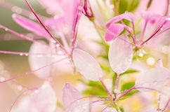 Cleome hassleriana or spider flower or spider plant Royalty Free Stock Image