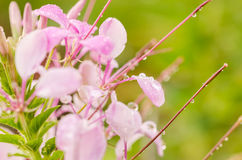 Cleome hassleriana or spider flower or spider plant Stock Photography