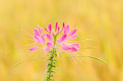 Cleome hassleriana or spider flower or spider plant Royalty Free Stock Photo