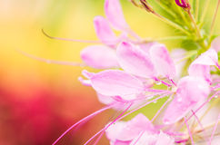 Cleome hassleriana or spider flower or spider plant Royalty Free Stock Photography