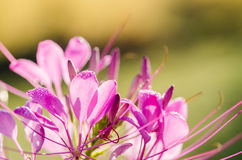 Cleome hassleriana or spider flower or spider plant Royalty Free Stock Photos