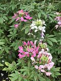 Cleome hassleriana or Spider flower or Spider plant or Pink queen or Grandfather`s whiskers flower. Cleome hassleriana or Spider flower or Spider plant or Pink Stock Photography