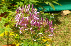Cleome hassleriana-Spider flowers Royalty Free Stock Photos