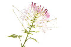 Cleome rose Photos stock