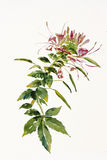 Cleome spider flower. Branch watercolor painting Royalty Free Stock Image