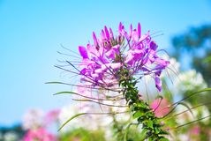 Cleome or Spider Flower. Is a flower that have a long pollen like a leg of spider so it was called Spider Flower. This flower had originated from Argentina Stock Photo