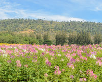 Cleome or spider flower field Royalty Free Stock Images