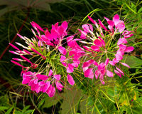 Cleome Spider plant. Lipstick pink flowers of the spider plant, Cleome Royalty Free Stock Photo