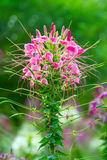 Cleome Spinosa Photo libre de droits