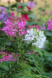 Cleome Spinosa Royalty Free Stock Image