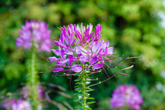 Cleome Spinosa Immagine Stock