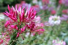 Cleome Spinosa - flores de araña Fotos de archivo libres de regalías