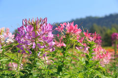 Cleome spinosa flower or spider flower, pink flower Royalty Free Stock Image