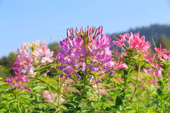 Cleome spinosa flower or spider flower, pink flower Royalty Free Stock Images
