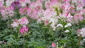 Cleome spinosa Jacq flower or spider flower in the wind stock video footage