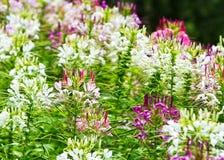 Cleome spinosa kwiat Fotografia Royalty Free