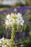 Cleome spinosa kwiat lub pająka kwiat, biały kwiat Fotografia Royalty Free