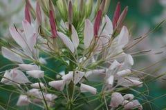 Cleomeblume im Garten Stockfoto