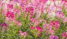 Cleomen bakgrund, naturbakgrund blommorna är blommande I Royaltyfri Fotografi