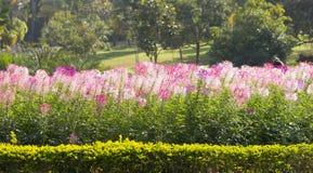 Cleomen blommorna är blommande i trädgården Arkivbilder