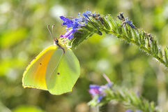 Cleopatra butterfly feeding on flower. Macro of male Cleopatra butterfly (Gonepteryx cleopatra) feeding on blue flower view of profile Stock Photo