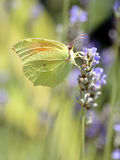 Cleopatra butterfly feeding on flower. Macro of male Cleopatra butterfly (Gonepteryx cleopatra) feeding on lavender flower viewed of profile Royalty Free Stock Photo