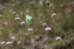 Cleopatra butterfly in flight. And flowers Royalty Free Stock Photography