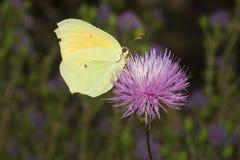 Cleopatra butterfly nectaring on Mantisalca Royalty Free Stock Photo