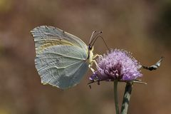 Cleopatra butterfly from Southern France, Europe Royalty Free Stock Photo