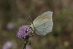 Cleopatra butterfly from Southern France, Europe Stock Photos