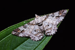 Cleora determinata moth on green leaf Royalty Free Stock Photo