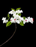 Clerodendron flowers isolated on black Royalty Free Stock Image