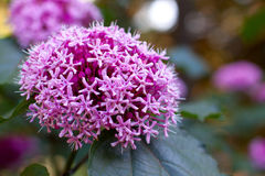 Clerodendrum bungei Stock Photography
