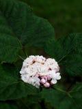 Clerodendrum chinense Royaltyfri Fotografi